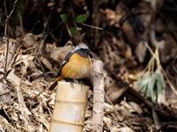ジョウビタキが元気です - コーヒー党の野鳥と自然 パート2