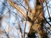 約3年ぶりの・・・ミヤマホオジロ① - 鳥見んGOO!(とりみんぐー!)野鳥との出逢い