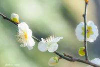 梅と桜 - 長い木の橋