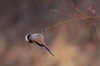 撮り貯めた野鳥 - 上州自然散策2