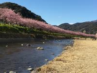 バレンタインデーの河津桜  Early Blossoming of Kawazu Sakura - my gallery-2