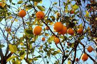 愛おしすぎて収穫できずにいる我が家のレモン - 横浜・フランス&世界旅の料理教室 ~うららの味な旅 味な日々~