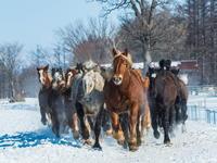音更・十勝牧場で冬の風物詩「馬追い運動」を見学。 - 十勝・中札内村「森の中の日記」~café&宿カンタベリー~