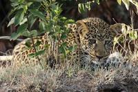 僕とお兄ちゃんは豹の子供たち。渓谷の森の中が僕たちの住まいです(旅記録その7、2月15日のサファリ) - 旅プラスの日記