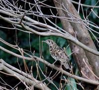 やっとMFのトラツグミを・・・ - 一期一会の野鳥たち