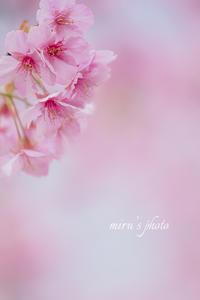 SAKURA咲く・・ - MIRU'S PHOTO