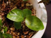 キツネノマゴ科の1種(クルンチンウォーターフォール産) #6 - Blog: Living Tropically