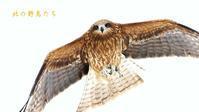 トビ - 北の野鳥たち