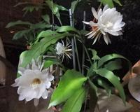月下美人の花が咲きました! - マーマレイド回廊