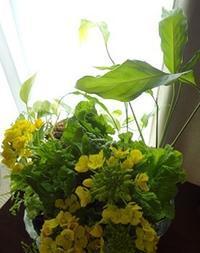 菜の花と金柑 - handmade flower maya