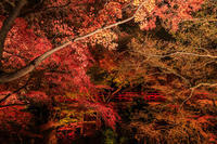 京都の紅葉2016 御土居の紅葉ライトアップ(北野天満宮) - 花景色-K.W.C. PhotoBlog