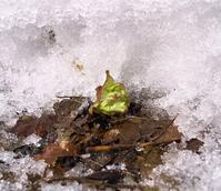 大雪の年・・・春の山菜は、ひときわ美味しい! - 朽木小川より 「itiのデジカメ日記」 高島市の奥山・針畑郷からフォトエッセイ
