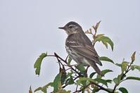 ビンズイ - 出会った野鳥たち
