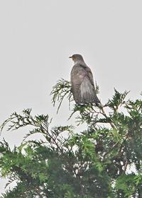 ホトトギス - 出会った野鳥たち