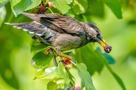 ムクドリ - 出会った野鳥たち