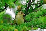 メボソムシクイ - 出会った野鳥たち