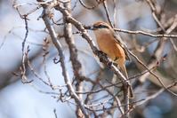 モズ - 出会った野鳥たち