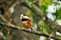 ヤマガラ - 出会った野鳥たち