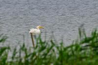 モモイロペリカン - 出会った野鳥たち