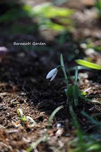 小さな春 - バラと遊ぶ庭