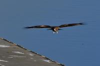 飛んでる鳥 - じいじとばあばのフォトライフ