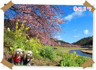2017年2月11日 南伊豆町 みなみの桜と菜の花祭り - 週末は、愛犬モモと永吉とお出かけ!Kimi's Eye
