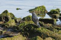 イソヒヨドリ - くろせの鳥