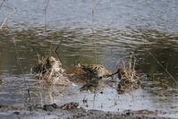 タシギ - くろせの鳥