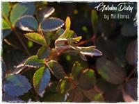 "Miniture Rose ""Green Ice"" - Garden Diary"
