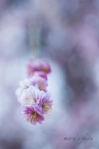 香取神社の梅まつり 明日からですよ~♪ - MIRU'S PHOTO