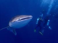 【現地発着】ボランティアプログラム@モルディブ ジンベイザメ研究NPO機関  - モルディブをお得に賢く旅する!現地情報発信ブログ  Budget Travel Tips for Maldives!