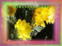 『 福も寿もわれらの灯し福寿草 』PHOTO 575花qy1701 - 老仁のハッピーライフ