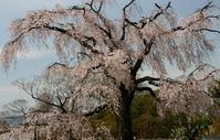 円山公園の雪桜 - 浜千鳥写真館