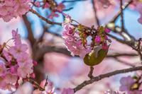 河津桜とメジロ - あだっちゃんの花鳥風月