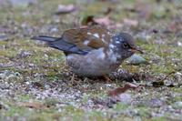 昨年に出会ったシロハラと再会 - 野鳥写真日記 自分用アーカイブズ
