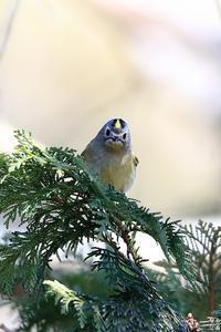 今季初撮りのキクイタダキ - 野鳥公園