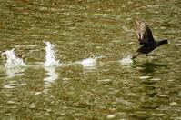 水面を走る鳥 オオバン - 風見鶏日記