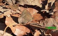2017年02月17日 狭山丘陵だより 今年初めての蝶(成虫) - 愛野緑の撮影記録