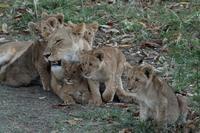 ライオン赤ちゃん、チーター、ライオン親子、そして豹(旅記録その9、2月17日のサファリ) - 旅プラスの日記