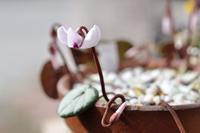原種シクラメン コウム が咲いた - yama10フォトライフ