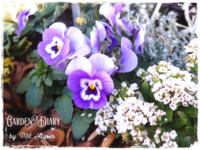 """Always with """"Sweet alyssum"""" - Garden Diary"""