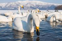 屈斜路湖の白鳥をのんびり観察 - Photo 森の声