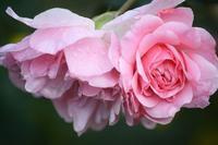 pink rose - 木を見て森も見たい