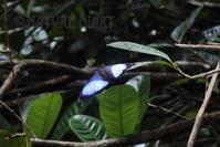 20170128 南米フランス領ギアナの散歩道(5):モルフォチョウの輝き - NATURE DIARY