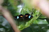 20170128 南米フランス領ギアナの散歩道(7):アケボノミズイロタテハチョウ - NATURE DIARY