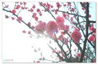 桃色の梅。 - Yuruyuru Photograph