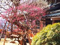 春先の庭園に咲く戸定邸の梅の花。。 - 一場の写真 / 足立区リフォーム館・頑張る会社ブログ