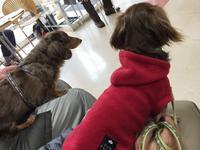 17年2月18日 おチリ絞り&肉ぅ~(笑) - 旅行犬 さくら 桃子 あんず 日記