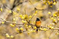 ロウバイの野鳥 - 趣味の野鳥撮影