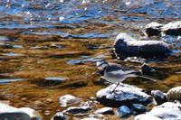 槻川に集う野鳥(2月13日) - 何でも写真館